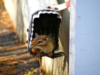 Chipmunk Preparing for the Winter