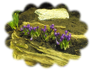 Crocuses embedded in a log
