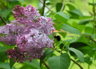 Lilacs with Bumblebee
