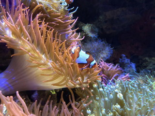 Nemo in the coral