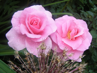 Raindrops on Pink Roses