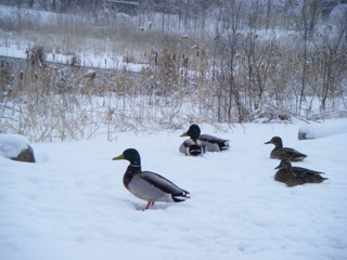 Vermont Ducks in the Snow