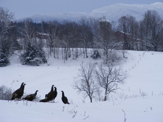 Vermont Turkeys