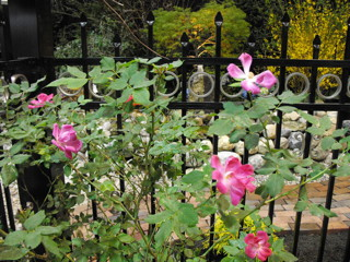 Wild Roses & Wrought Iron Fence